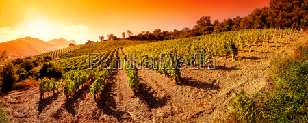 sunrise on a hillside vineyard in