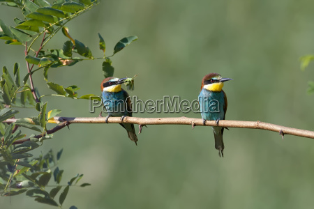 two bee eaters with prey