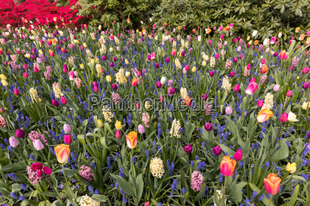 colorful tulips and hyacinths blooming