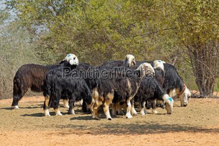 arabian nadji sheep