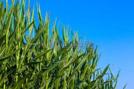 mais und blauer himmel