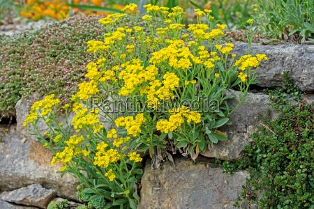 rockery with yellow flowers