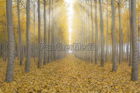 sun beams in poplar tree farm