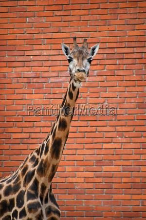 portrait of giraffe over red brick
