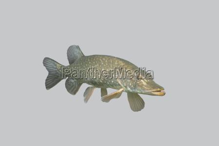 fish predatory pike