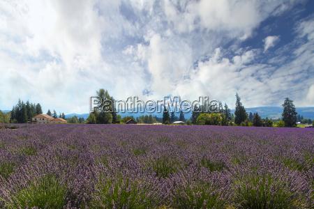 lavender field in hood river oregon