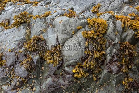 bladderwrack seaweeds clinging on rockk