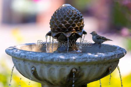 pine siskin bird perched on water