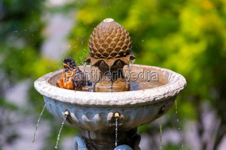 american robin bathing in garden water