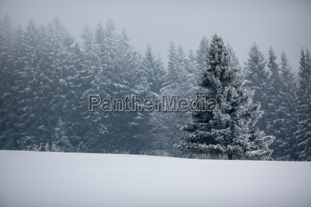 winter forest trees covered with