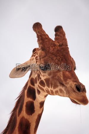 tall reticulated giraffe giraffa camelopardalis reticulata