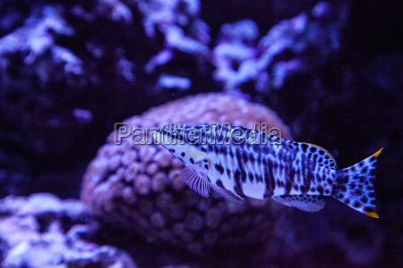 dalmation molly tropical fish poecilia latipinna