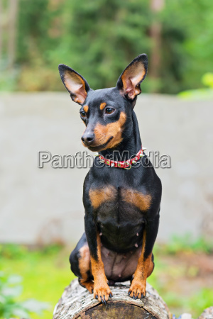 portrait of a miniature pinscher dog