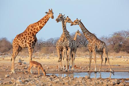 giraffe herd at a waterhole