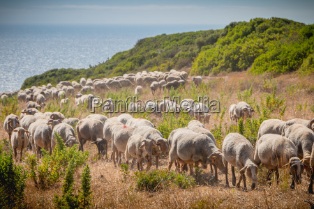 flock of sheep in a grassland
