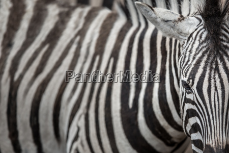 zebra close up view with