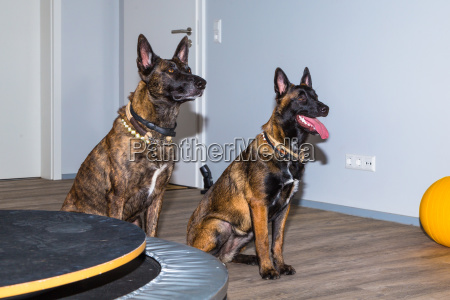 two mallinois dogs waiting in a