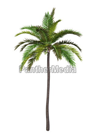 3d rendering coconut tree on white