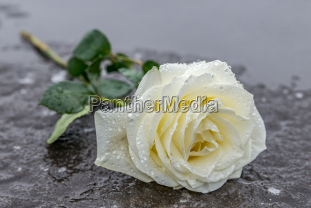 reverence in memory a rose