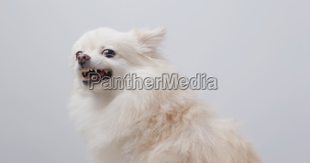 white pomeranian get angry
