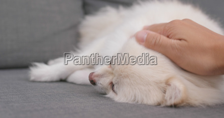 pet owner play with pomeranian dog