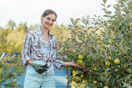 woman in hobby garden harvesting apples