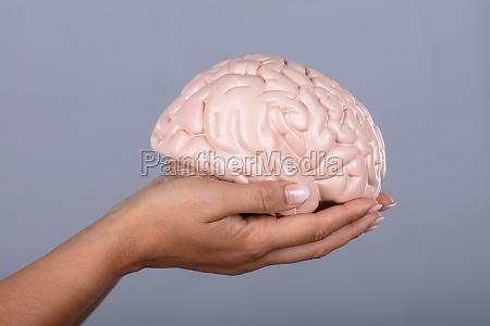 human hand holding human brain model
