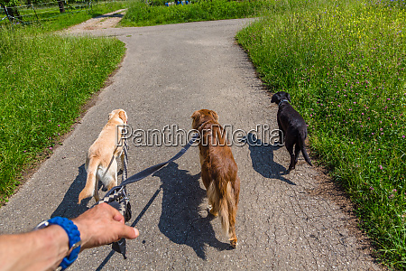 leading som dogs on a leash