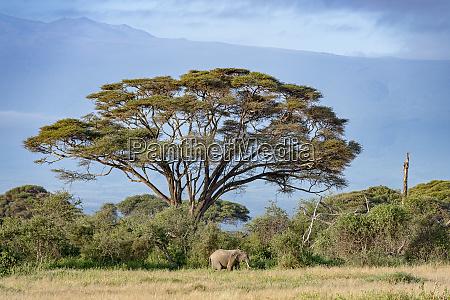 kenya amboseli elephant 5464