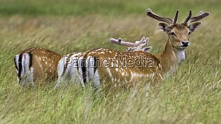 wild red deer in untied kingdom