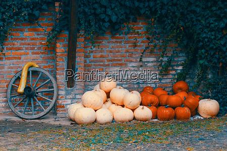ripe autumn pumpkins on the farm