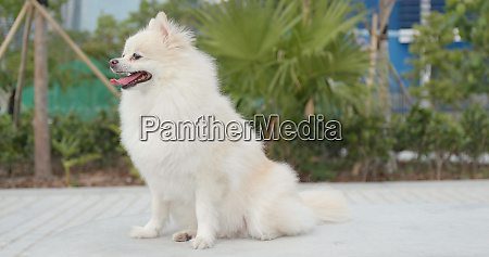 cute pomeranian dog smiling at outdoor