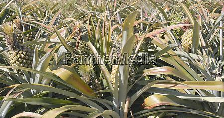 pineapple plantation farm
