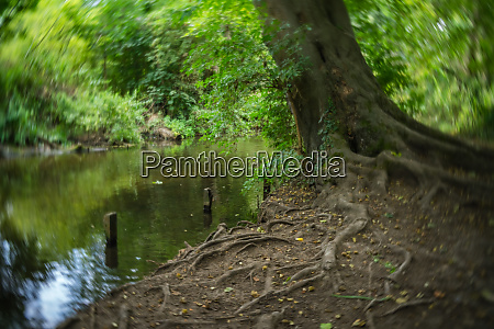 large tree on a riverbank