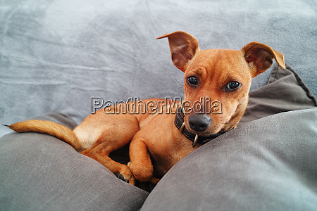 miniature pinscher dog over gray sofa