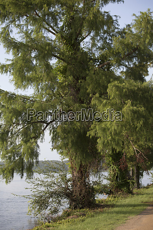 cypress tree at the lake