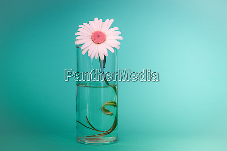 beautiful chamomile flower in a glass