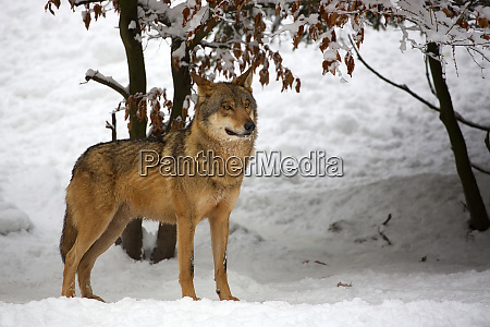 wolf in the forest in winter
