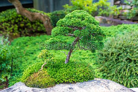 a trimmed bonsai tree