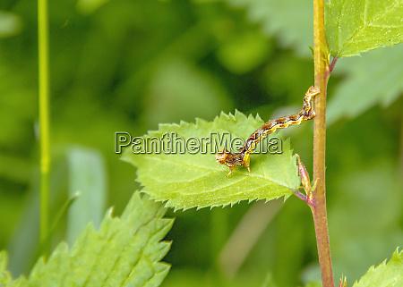 mottled umber caterpillar