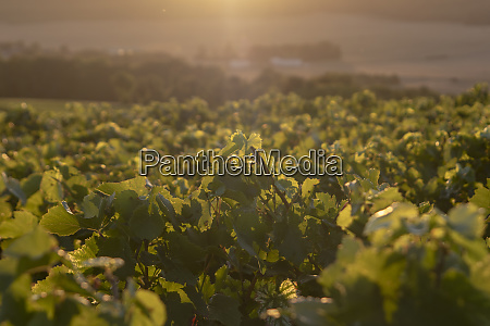 sunset on the vines champagne region