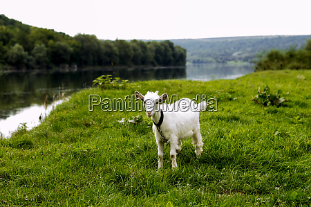 goat grazing on the banks of