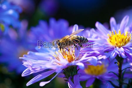 domestic bee sitting on purple flower