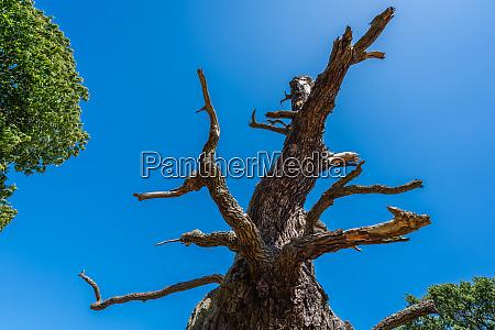 single dead leafless tree