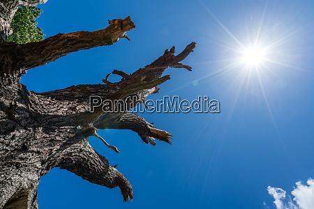 single dead leafless tree in a