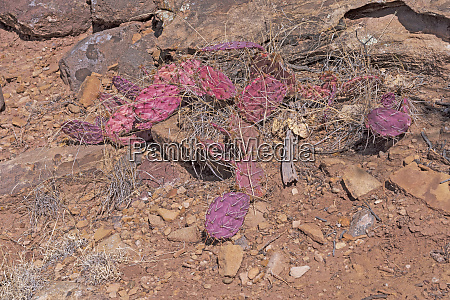 pink prickly pear leaves in the