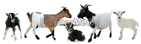 group of goats and kids
