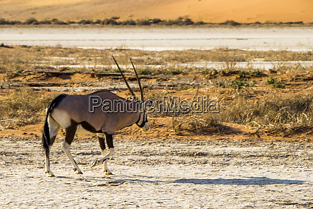namibia namib naukluft park eared