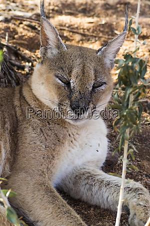 namibia namib naukluft park lynx