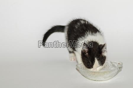 small cat drinking